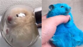 飼主,日本,倉鼠,虐待,動物,染色 推特