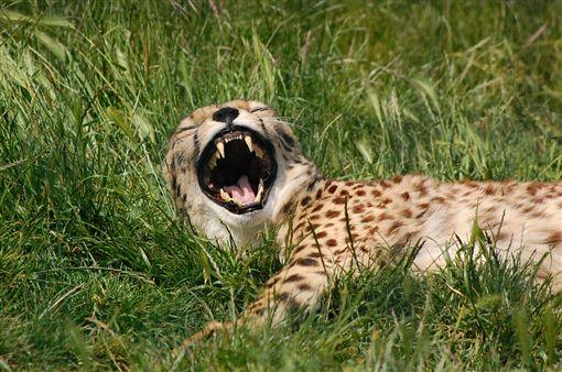 獵豹,非洲,攝影師(圖/取自Pixabay)