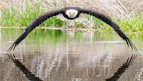 白頭海鵰掠過湖面「完美對稱」!加拿大攝影師拍下絕美畫面 (圖/翻攝自stevebiro instagram)