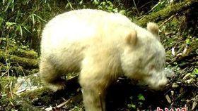全球首例!四川臥龍自然保護區拍到「紅眼白化貓熊」。(圖/翻攝自中新網)