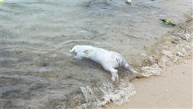 小琉球海岸發現豬屍(1)屏東縣琉球鄉中澳沙灘25日發現一隻年齡約3至4個月大的豬屍,經防疫所採樣後隨即就地掩埋,並針對周遭環境加強消毒。(屏東動物防疫所提供)中央社記者郭芷瑄傳真 108年5月25日