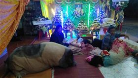 ▲豬(圖/翻攝自泰國網臉書)