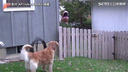 ▲狗狗發現有一隻恐龍靠近院子。(圖/AP/Jukin Media 授權)