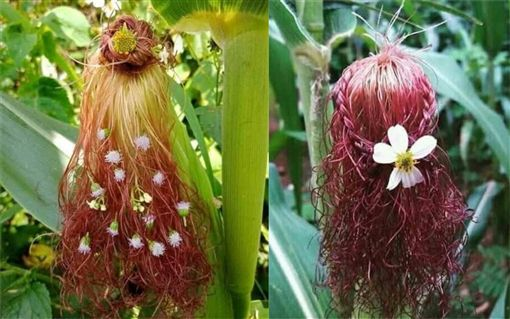 就讀髮型設計的兒子,將玉米變成「花仙子」。(圖/翻攝自爆廢公社)