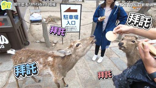 日本奈良體驗親餵小鹿 超有禮貌萌樣融化網友