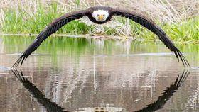 白頭海鵰,加拿大,猛禽,照片,霸氣 推特