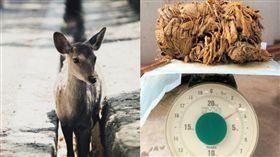 觀光客,日本,奈良鹿,餵食,塑膠袋,死亡,動物 推特