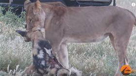 草原上的爾虞我詐!野狗遭母獅襲擊捕獲 全靠裝死逃過一劫(圖/翻攝自 Kruger Sightings  YouTube)