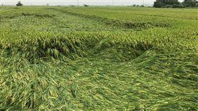台南一期作水稻 受損面積不大台南市政府農業局表示,台南市一期作水稻種植面積約1萬4000公頃,經相關單位會勘統計,受517雨災影響倒伏面積約245公頃,損害程度6%。(台南市農業局提供)中央社記者楊思瑞台南傳真 108年5月26日