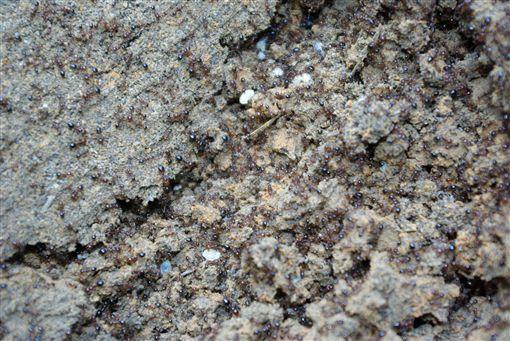 紅火蟻(圖/翻攝自維基百科)
