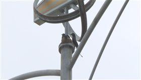 電桿上築巢  烏秋追逐機車騎士護巢(1)最近有民眾騎乘機車行經苗栗縣後龍高鐵特定區新港三路和高鐵六路交叉口,遭到烏秋襲擊;苗栗縣野鳥學會總幹事溫春福表示,烏秋又稱為「大卷尾」,地域性強、飛行技巧高超,現正是烏秋育雛的時候,為了保護小鳥,更具攻擊性,才會做出驅趕機車騎士的行為。中央社記者管瑞平攝  108年5月29日