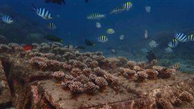 全台首座  澎湖珊瑚海洋花園亮相(1)澎湖縣水產種苗繁殖場自105年執行海洋復育工程,在馬公鎖港杭灣海域培育珊瑚,3年來已看見成果,潛水可看到美麗的珊瑚礁群與魚群共同棲息。(澎湖水產種苗場提供)中央社  108年5月31日