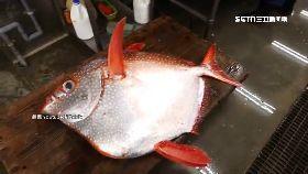 月亮魚幸運1200