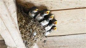 燕子,築巢(圖/翻攝自Pixabay)