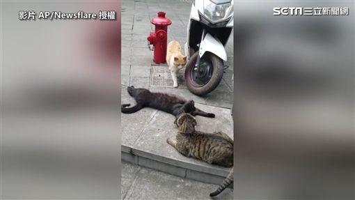 ▲虎斑貓發現黑貓元配在後面非常火。(圖/AP/Newsflare 授權)