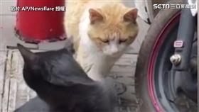 ▲黑貓回過頭,只看見橘貓惡狠狠的表情。(圖/AP/Newsflare 授權)