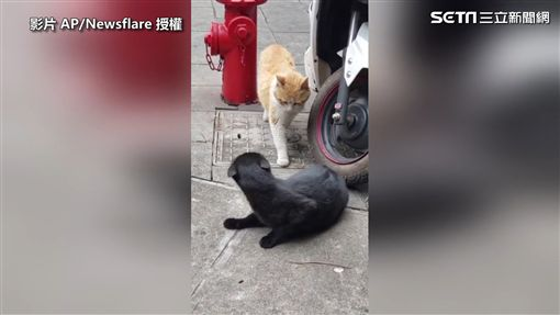 ▲兩貓對峙了一段時間。(圖/AP/Newsflare 授權)