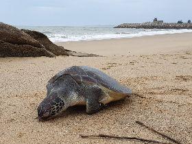 海洋生態悲歌 金門沙灘發現死亡綠蠵龜