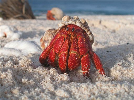 寄居蟹。(示意圖/pixabay)