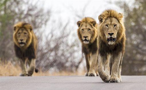 南非,克魯格國家公園,獅子,竄逃(圖/翻攝自推特)