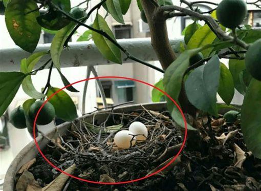 不少人都曾在屋簷或是路樹上看過鳥兒的巢穴,不過有一名男網友表示,他某日在家中陽台的盆栽發現巢穴與2顆鳥蛋,但巢穴看起來「很隨便」,讓他不禁好奇是哪種品種的鳥。照片曝光後,釣出不少內行的網友,紛紛留言:「是斑鳩!」(圖/翻攝自爆系知識家)