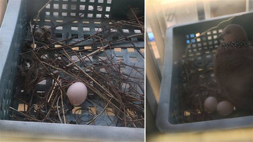不少人都曾在屋簷或是路樹上看過鳥兒的巢穴,不過有一名男網友表示,他某日在家中陽台的盆栽發現巢穴與2顆鳥蛋,但巢穴看起來「很隨便」,讓他不禁好奇是哪種品種的鳥。照片曝光後,釣出不少內行的網友,紛紛留言:「是斑鳩!」(圖/翻攝自PTT)