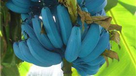 爪哇藍蕉。(圖/翻攝自推特)