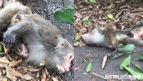 母猴傷重不治,小猴不知道趴母懷中摩蹭/劉義岳授權提供
