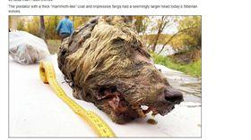 西伯利亞冰封巨大狼斷頭出土。(圖/翻攝自SiberianTimes)