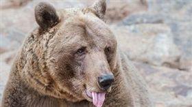 俄羅斯男子咬下棕熊舌頭脫險。(圖/翻攝自推特)