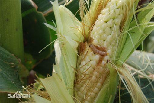 玉米螟蟲(圖/百度百科)
