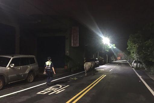 員警化身牧人 護送蹺家牛返家(1) 桃園警方10日夜間接獲民眾報案,指出有隻牛在敲家中大門,盼警方協助處理,警方到場時牛已轉往他處遊蕩,經查發現牛隻飼主人在外地,只好化身牧人協助牛隻返家。(警方提供)中央社記者吳睿騏桃園傳真 108年6月15日