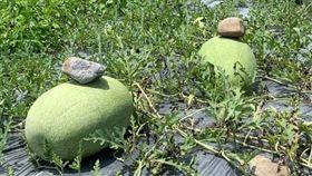 西瓜上壓石頭有原因。(圖/翻攝自爆廢公社二館)