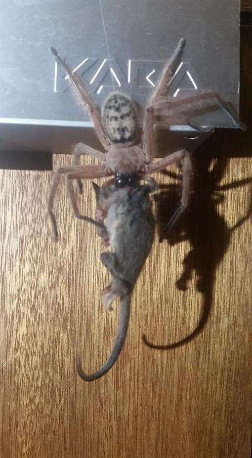澳洲,獵人蛛,侏儒負鼠(圖/翻攝自Justine Latton臉書)