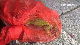 L車禍綠鬣蜥0700(DL)