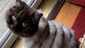 剃毛,貓咪,長歪,夏天,老虎。(圖/翻攝自ollietheslinkycat IG)