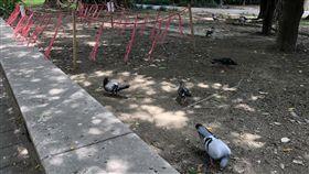 榮星花園鴿子群聚台北市中山區江寧里長徐信洲19日說,榮星花園常有民眾餵食鴿子,導致鴿子群聚,周邊大樓深受其害,要求改善。中央社記者梁珮綺攝 108年6月19日
