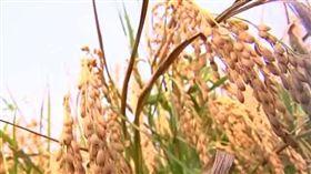 稻米。(圖/農民提供)