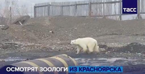 飢餓,北極熊,俄羅斯,城市,垃圾堆,覓食(圖/翻攝自ТАСС twitter)