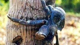 椰子蟹(圖/翻攝自維基百科)