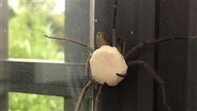 太可怕了!一名網友日前在窗戶看到白額高腳蛛(俗稱:喇牙),可怕的是,喇牙還抱著一顆白色「神秘巨蛋」。照片曝光後,掀起網友熱議,紛紛直喊:「千萬別搓破!會看到潮水般的小蜘蛛」。(圖/翻攝自爆廢公社二館)