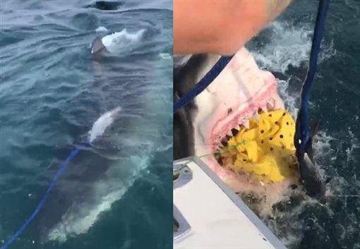 出海釣到900公斤大白鯊!鮪魚瞬間遭吞 漁夫放聲尖叫Jeff Crilly臉書