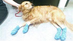 (16:9)歐拉夫的四隻腳都暫時包起來,避免高溫地面刺激傷口。(圖/翻攝自Medical Lake Veterinary Hospital FB)