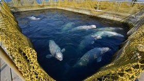 俄羅斯宣布將釋放鯨魚監獄裡的百頭鯨魚。(圖/翻攝自推特)