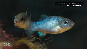 魔洞萬年魚1800