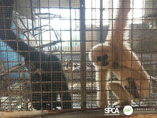 野生動物有黑戶?明明保育類卻被亂養 林務局:重啟調查靈長目,保育類,長臂猿、紅毛猩猩、豬尾猴、阿拉伯狒狒,馬來熊;台南的老虎、獅子、亞洲黑熊、食肉目,馬來熊、台灣黑熊、孟加拉虎、非洲獅