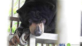 野生動物有黑戶?明明保育類卻被亂養 林務局:重啟調查 靈長目,保育類,長臂猿、紅毛猩猩、豬尾猴、阿拉伯狒狒,馬來熊;台南的老虎、獅子、亞洲黑熊、食肉目,馬來熊、台灣黑熊、孟加拉虎、非洲獅