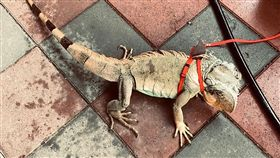 屏東發起全民抓綠鬣蜥 1隻可換1盒老鷹紅豆綠鬣蜥野外族群嚴重危害屏東農作物,為了控制綠鬣蜥野外繁殖數量,屏東縣政府發起全民運動,抓1隻成蜥兌換1盒老鷹紅豆。(屏東縣政府提供)中央社記者郭芷瑄傳真 108年6月26日