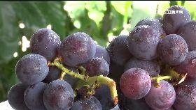 葡萄色有密1200