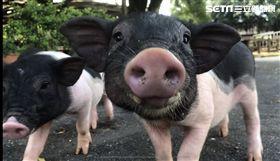 小豬/埔心牧場